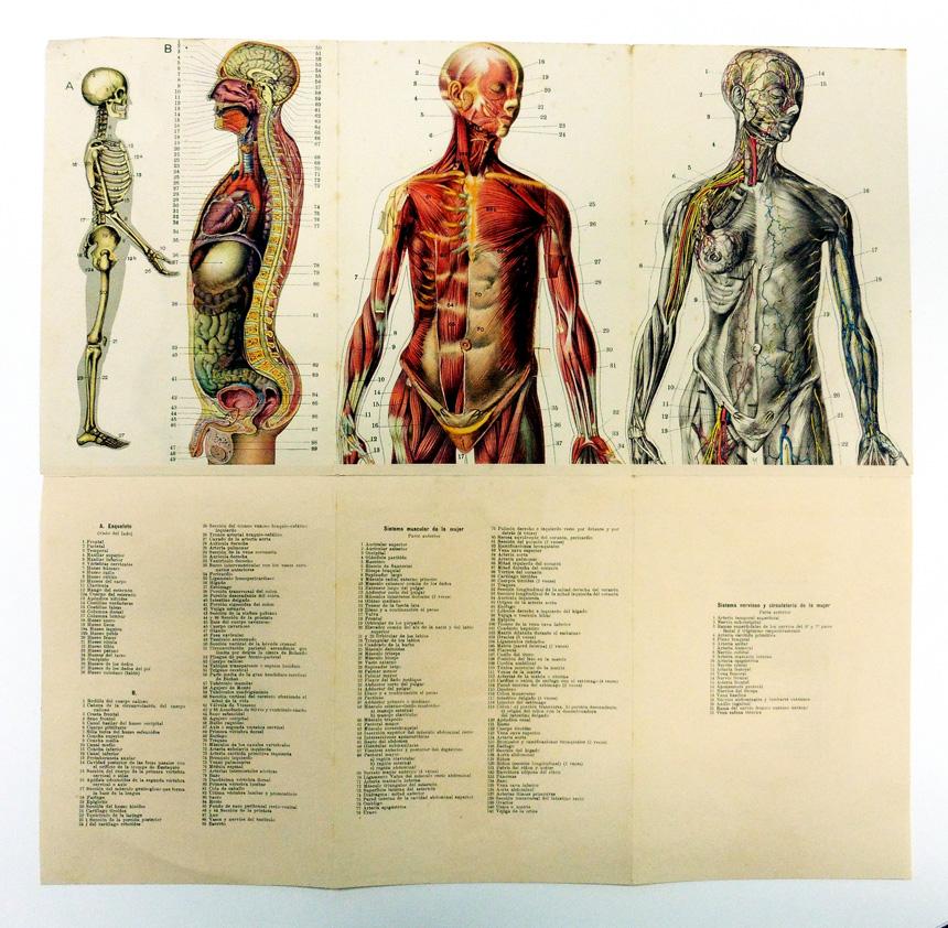 Anatomía del cuerpo masculino y del cuerpo femenino