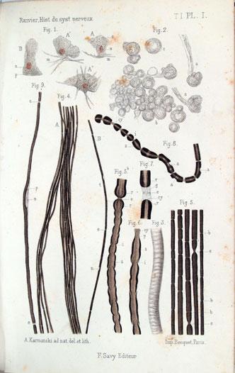 Lámina del Leçons sur l'Histologie du Système nerveux. Paris, 1878.
